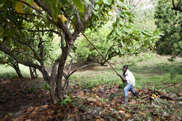 William picking cocoa pods with cocoa 0knife