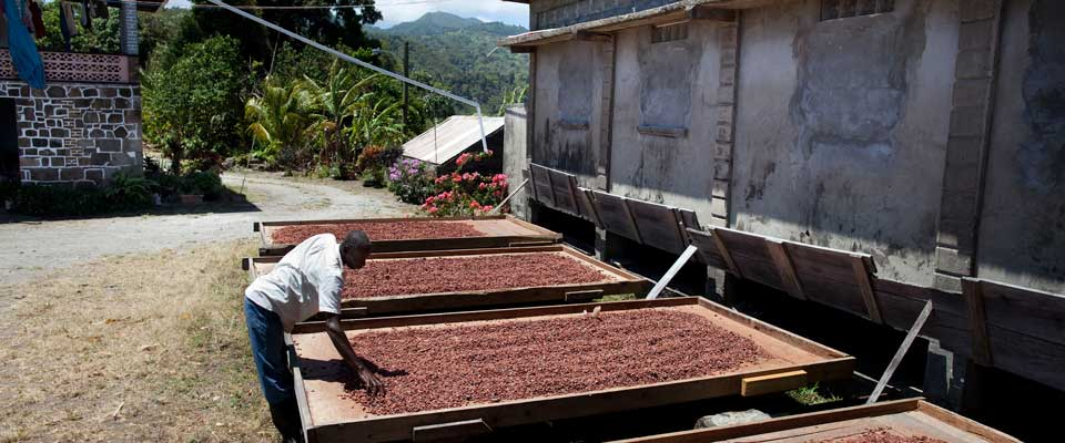 drying-cocoa-beans
